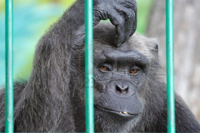 7353414-the-image-of-sad-chimpanzee-scratching-her-head