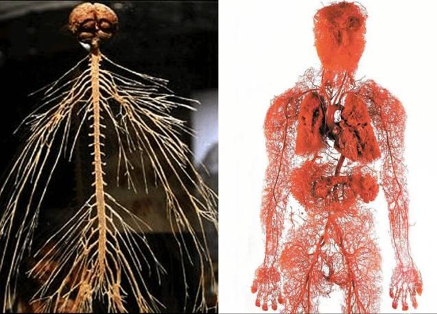nervous system-blood vessels