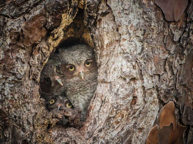 eastern-screech-owlets