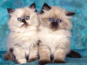 Siamese cat twins