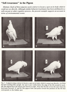 self-awareness-in-the-pigeon